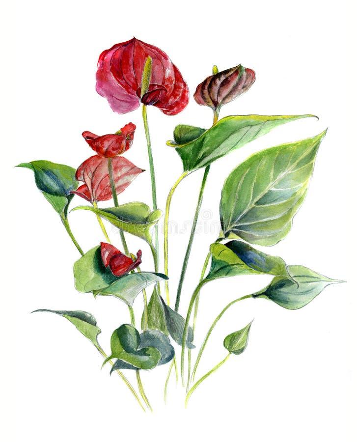 Anturio Schizzo dell'acquerello illustrazione del disegno della mano, isolata immagine stock