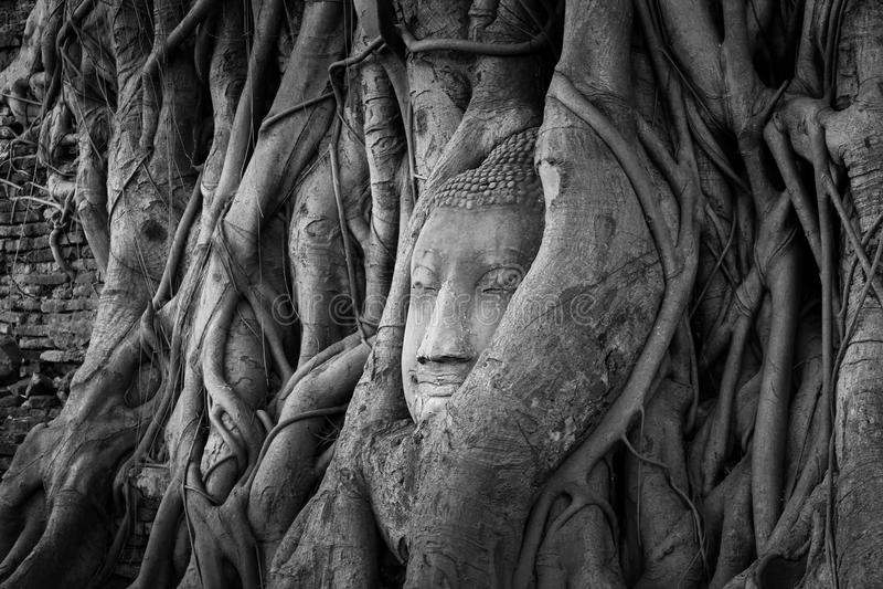 Antyczna Buddha głowa w drzewnych korzeniach, A czarny i biały fotografia stock