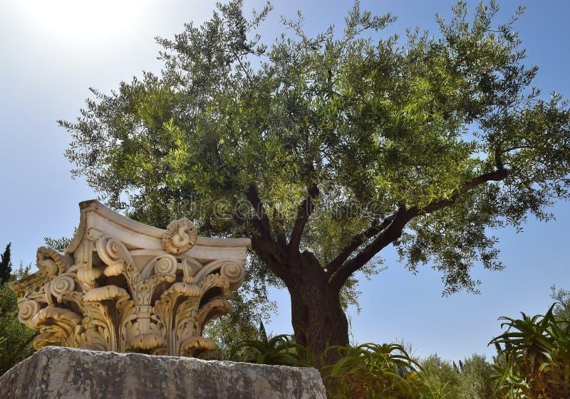 Antyczne corinthian kolumny i bardzo stary drzewo oliwne, Jerozolima, Izrael obraz stock