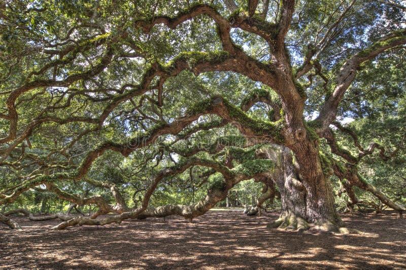 antyczny żywy dębowy drzewo zdjęcia stock