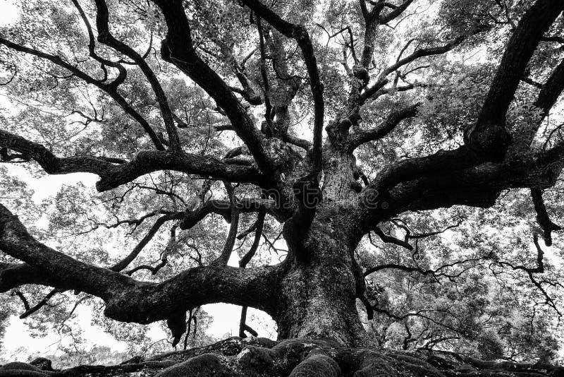 Antyczny dębowy drzewo z solidnymi korzeniami i możnymi gałąź w wysokim kontrascie czarny i biały fotografia royalty free
