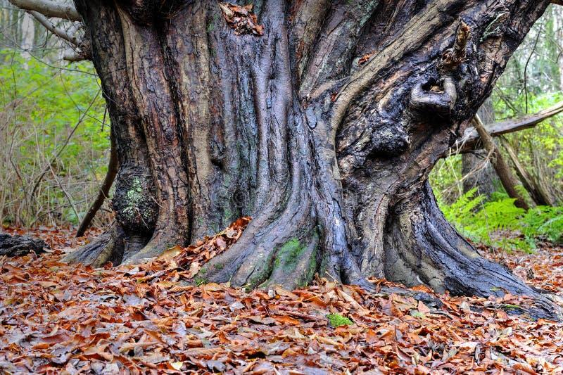 Antyczny Drzewny bagażnik w Szkockim lesie obraz stock