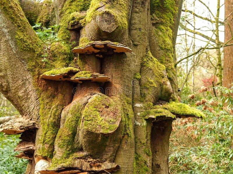 Antyczny drzewny bagażnik z mech i kinkietowymi grzybami zdjęcia stock