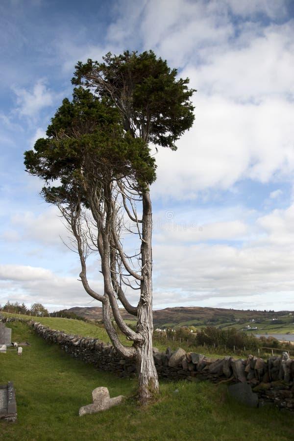 Antyczny drzewny trwanie w Irlandzkim cmentarzu samotnie obrazy royalty free