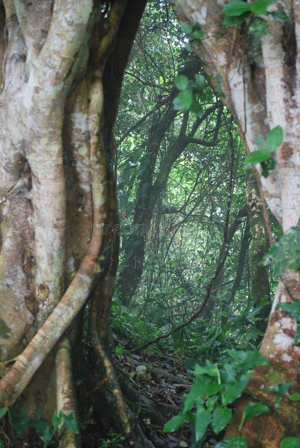 Antyczny drzewo w lesie zdjęcia royalty free