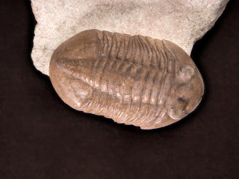 Antyczny fossilized trylobit zdjęcia stock