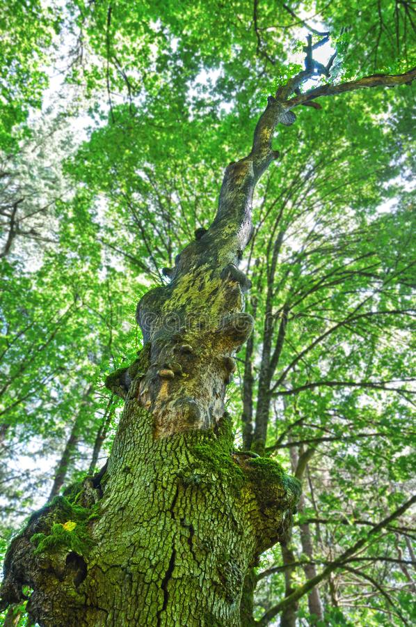 Antyczny klonowy drzewo w lesie z pionowo perspektywą zdjęcie royalty free