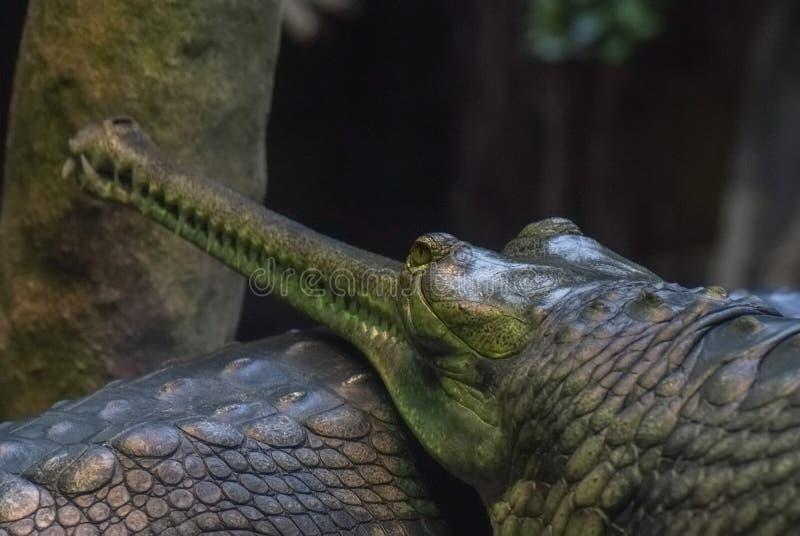 Antyczny krokodyl, gawial, ostrzy zęby zdjęcie royalty free