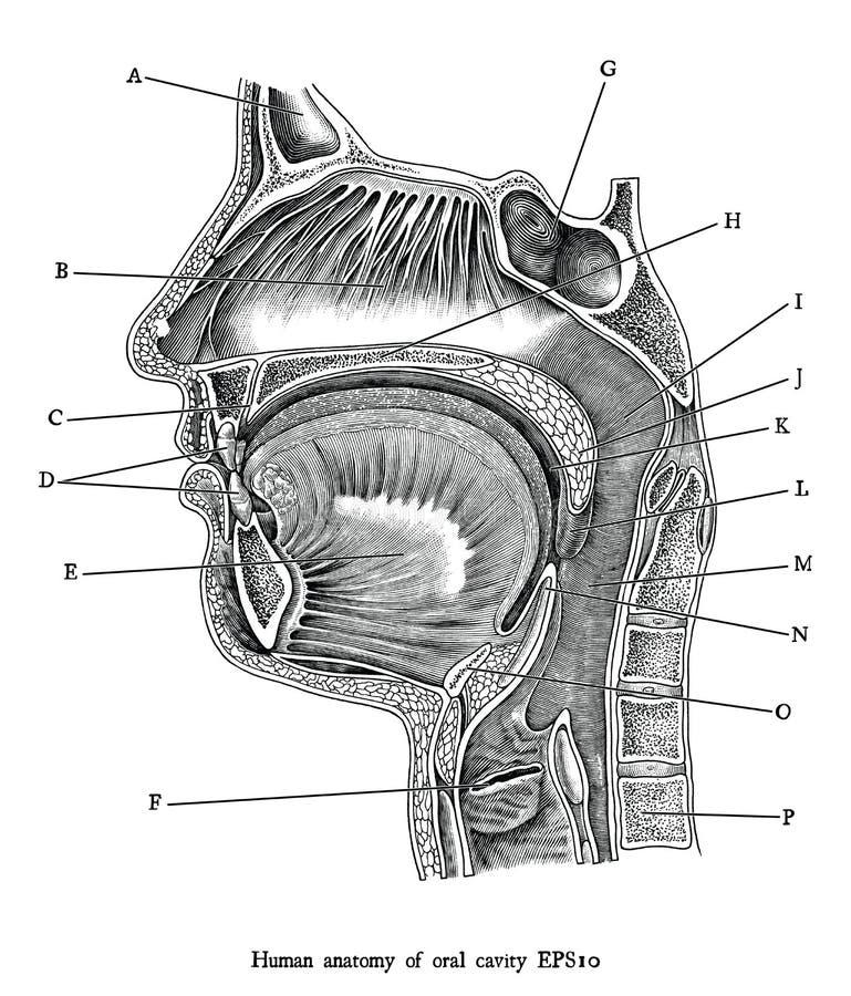 Antykwarska rytownictwo ilustracja ludzki oralnego zagłębienia czarny i biały clipart odizolowywa na białym tle, Ludzka anatomia  ilustracji