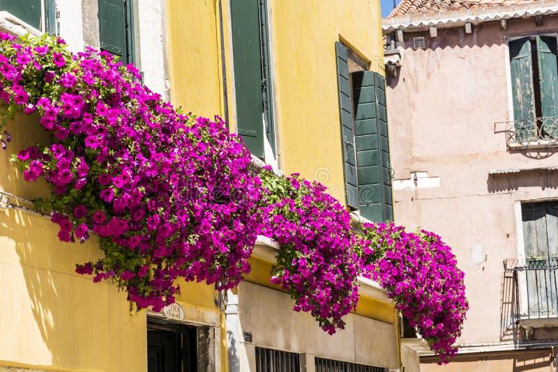 Antykwarski żółty budynek dekorujący z różową kwitnącą petunią kwitnie w Venezia obraz stock