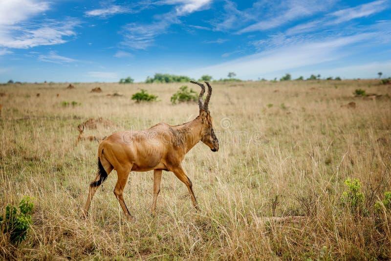 Antylopa Hartebeest w Murchison Spada park narodowy, Uganda obrazy stock
