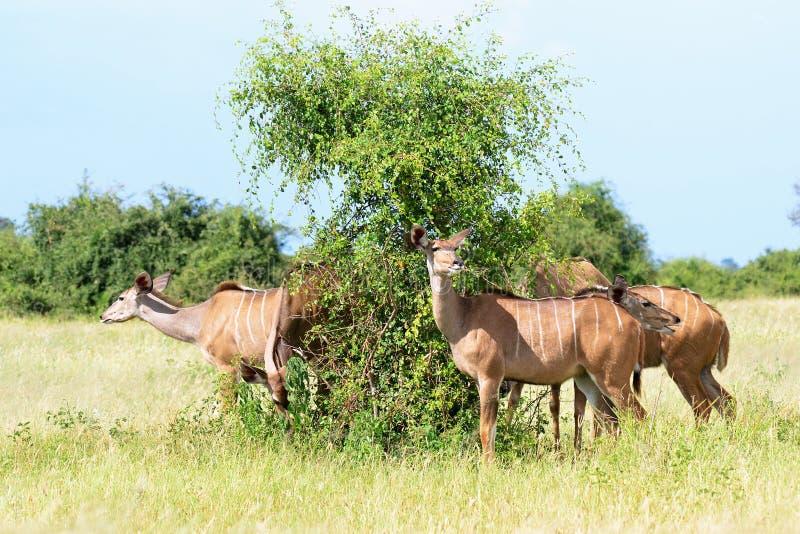 Antylopa kudu fotografia royalty free