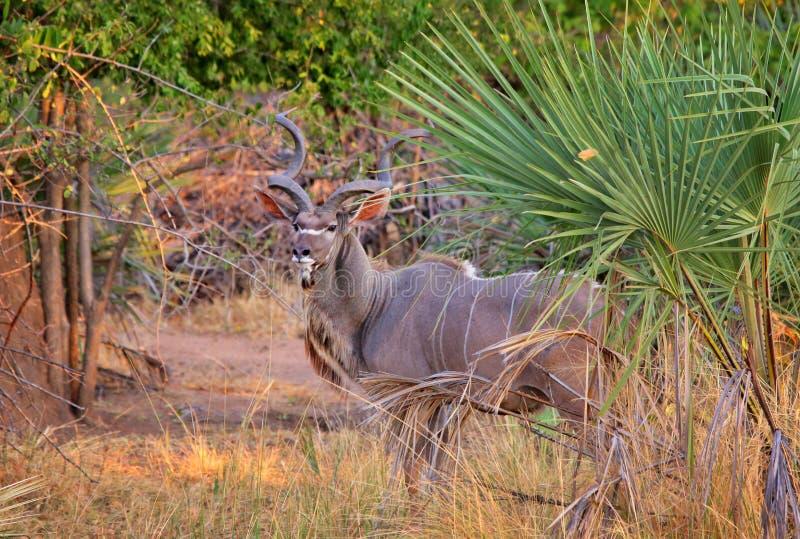 Antylopa kudu w Liwonde parku narodowym fotografia royalty free