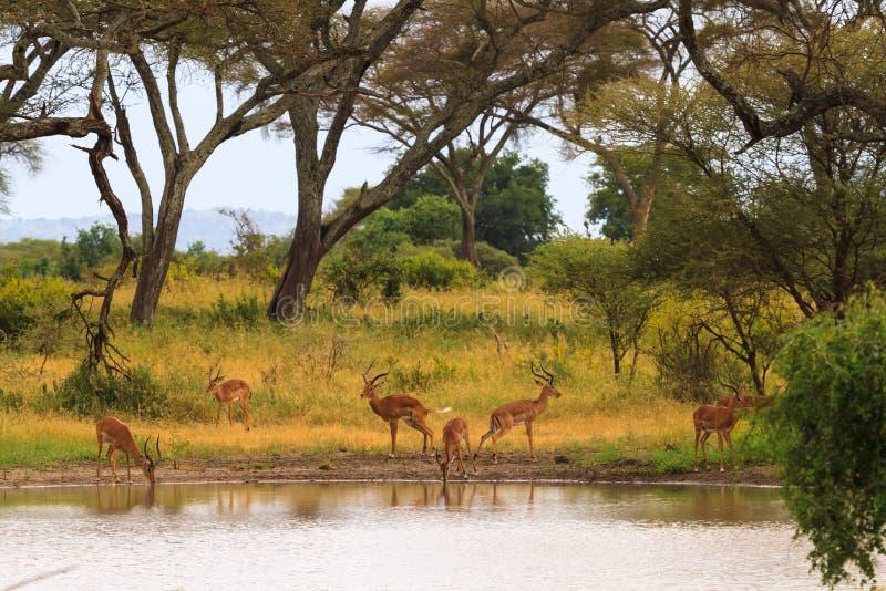 Antylopa przy podlewania miejscem Mały staw w sawannie Tanzania, Afryka fotografia stock