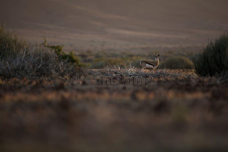 Antylopa w ?adnym ?wietle Kaokoland, Kunene region Namibia zdjęcia stock