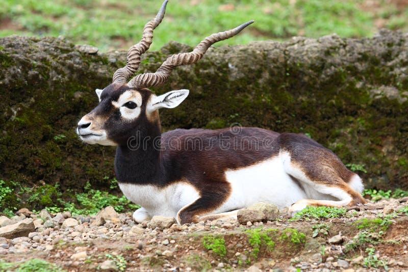 antylopy blackbuck obrazy royalty free