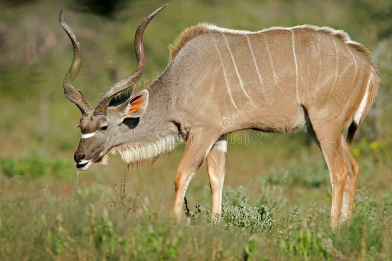 antylopy etosha Namibii kudu park narodowy fotografia stock