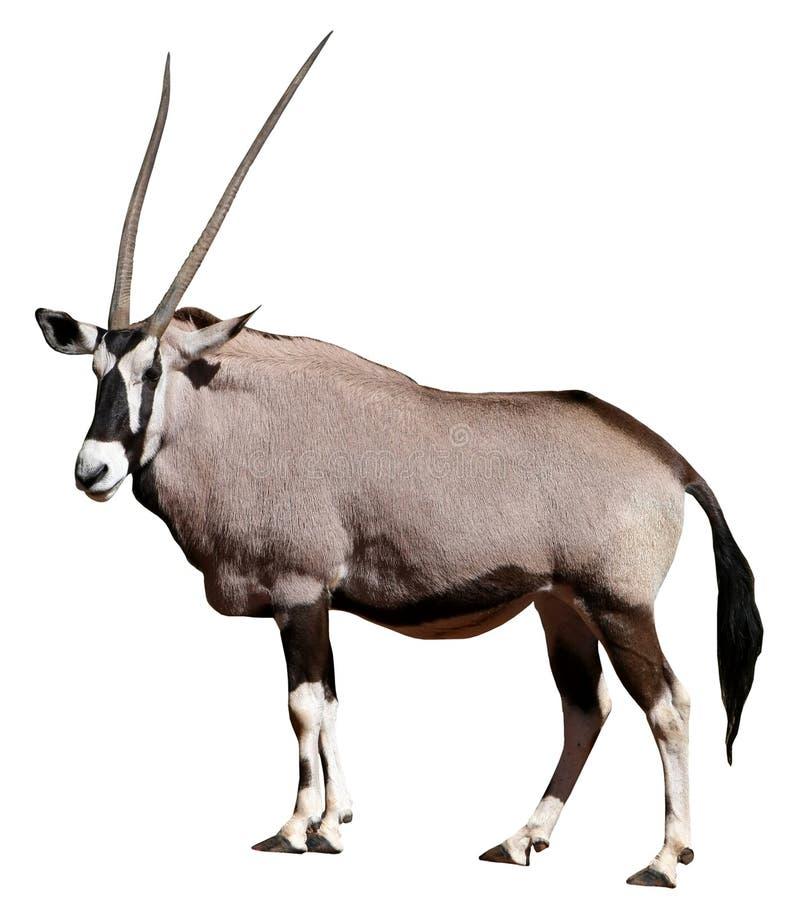antylopy gemsbok fotografia stock