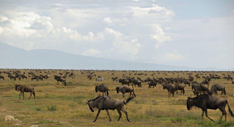 antylopy gnu zebry migracji zdjęcia royalty free