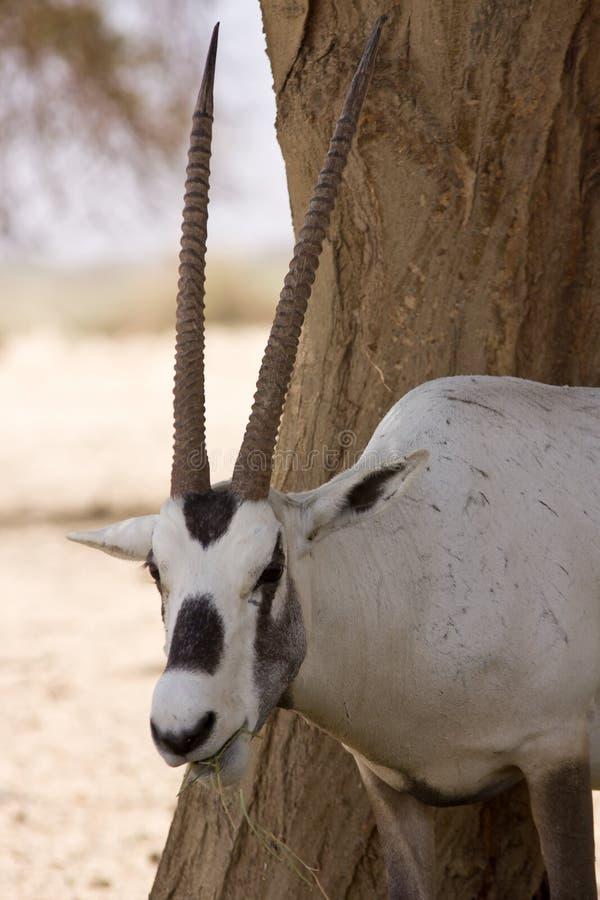 antylopy oryx portret obrazy stock