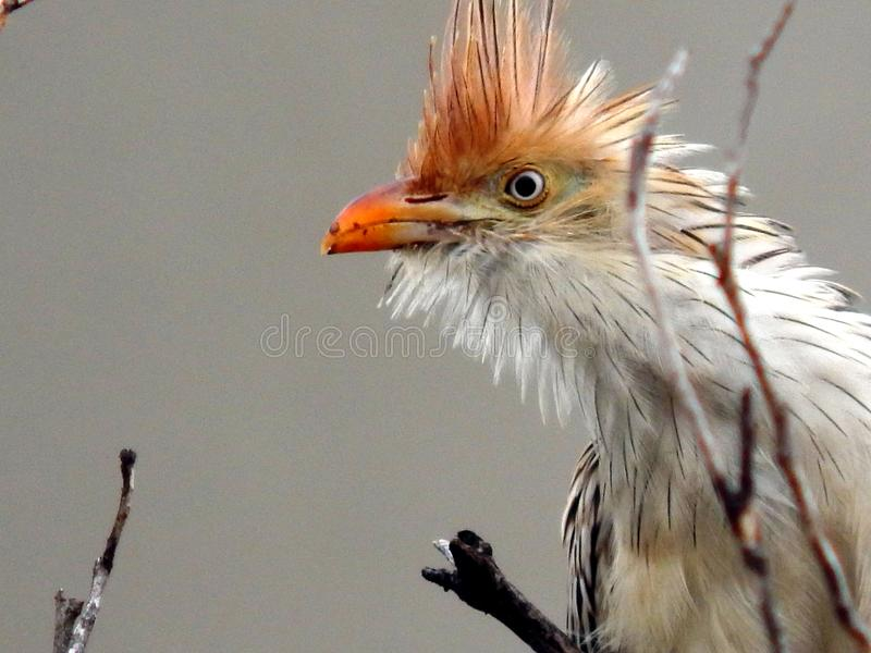 Anu branco entre ramos secos em Brasil fotografia de stock royalty free