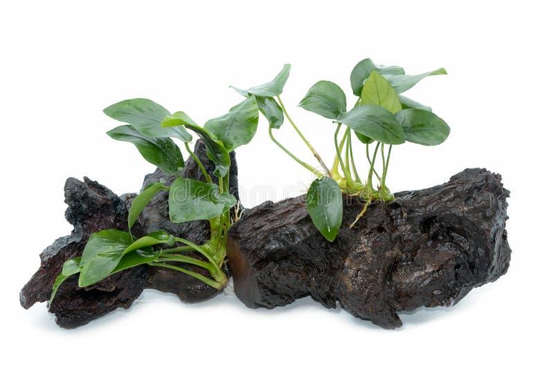Anubias barteri aquarium plants on small driftwood. On white background stock photography