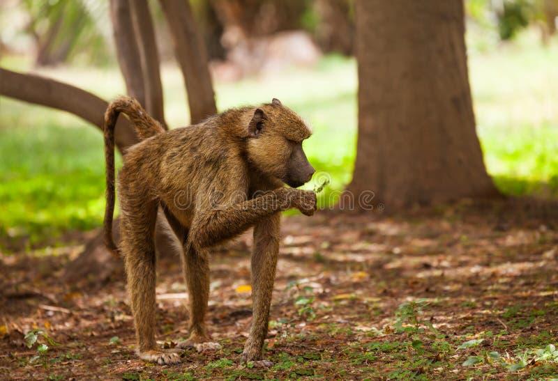 Anubis baboon feeding in Kenyan woodland. Side view portrait of Anubis baboon feeding in Kenyan woodland stock photo