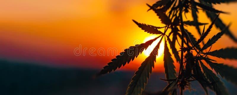 Anuncio publicitario del cáñamo crecer Concepto de medicina alternativa herbaria, aceite de CBD imagen de archivo