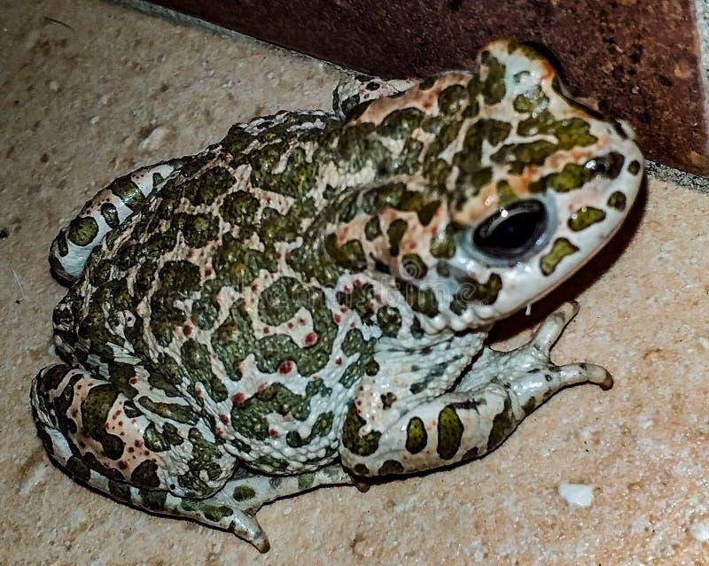 Anura Waldheim Anuris, 1813 заказ лодкамиамфибии которому сверх 7 000 видов принадлежат, обыкновенно называемый лягушки, жабы стоковые фотографии rf