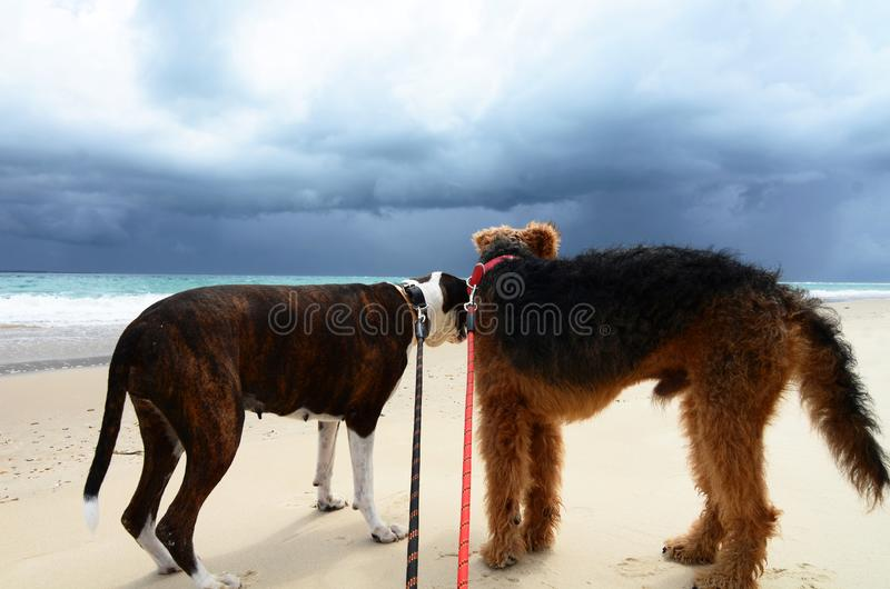 Anxiety fear in dogs on beach scared of dark thunder storm. An image clearing showing the anxiety and fear that the pair of dogs, best friends, are experiencing stock photos
