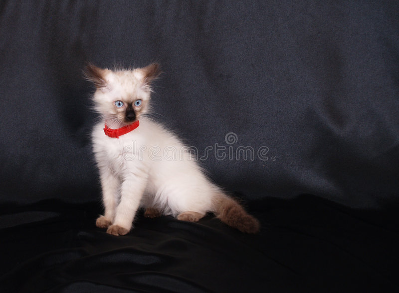 Anxious birman cat portrait royalty free stock image