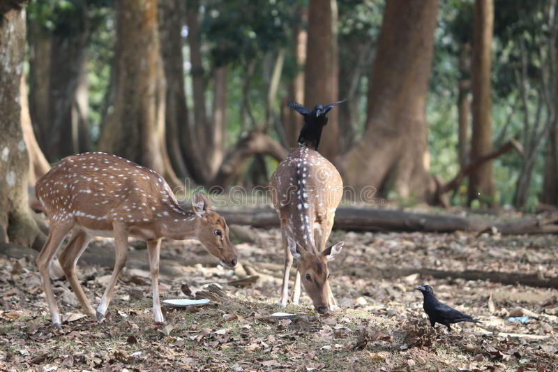 Anxious deer and authoritative deer looking for their food. In evening stock photos