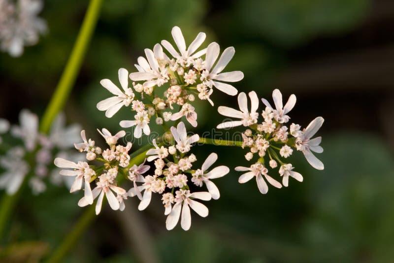 Anyżowi kwiaty fotografia royalty free