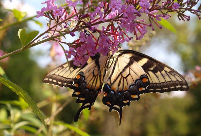 Anyżowy Swallowtail zdjęcie royalty free
