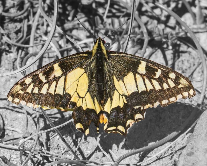 Anyżowy Swallowtail motyl fotografia stock
