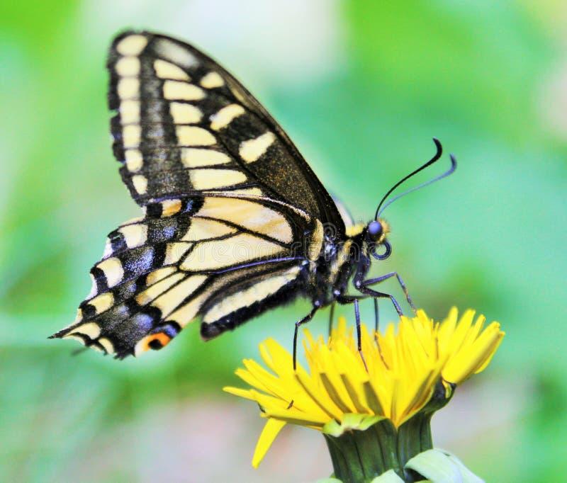 Anyżowy Swallowtail motyl fotografia royalty free