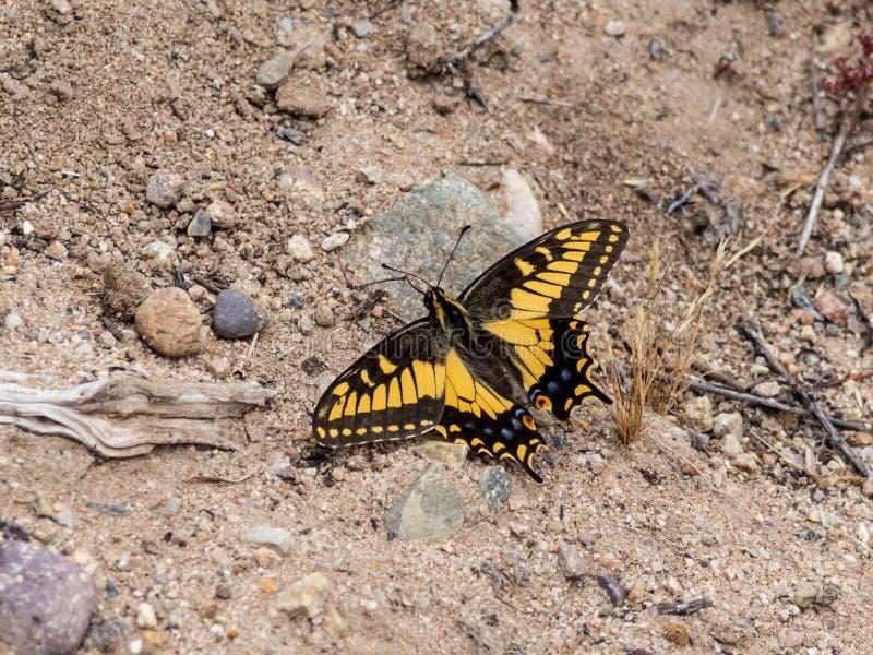 Anyżowy Swallowtail motyl przy Laguna wybrzeża pustkowia parkiem, laguna beach, Kalifornia obrazy stock