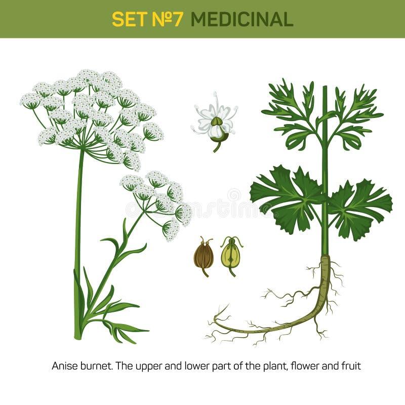 Anyżu lub aniseed krwiściąg kwitnie leczniczej rośliny ilustracja wektor