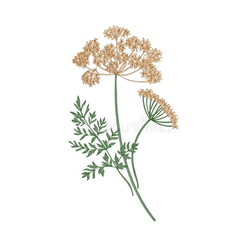 Anyżu lub aniseed ręka rysująca na białym tle Elegancki rysunek kwitnąć zielnej rośliny lub aromatycznego ziele używać wewnątrz royalty ilustracja