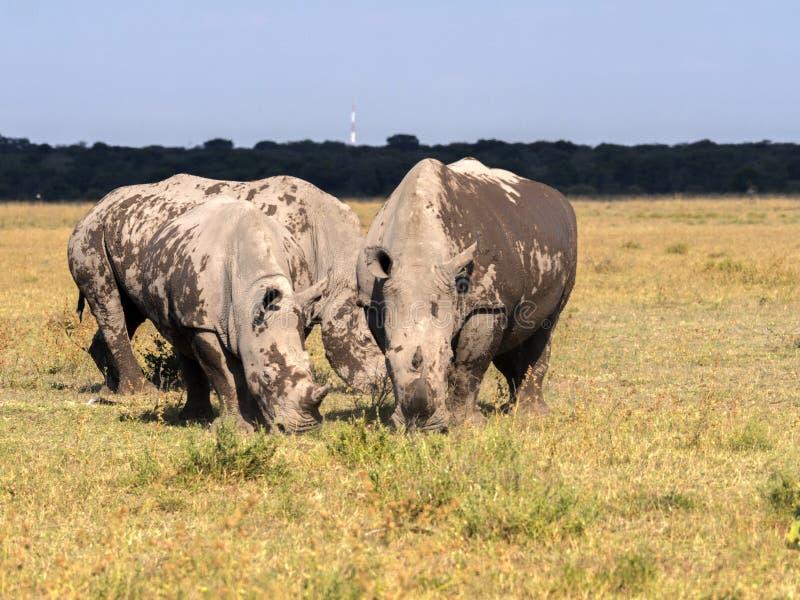 Southern White rhinoceros, Ceratotherium simum simum, mud cover, Botswana royalty free stock photos