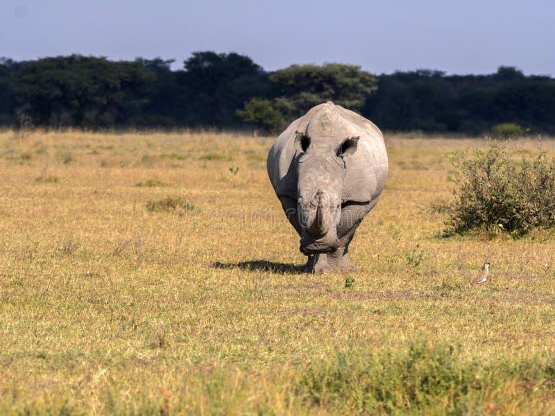 Southern White rhinoceros, Ceratotherium simum simum, on Botswana pasture stock photos