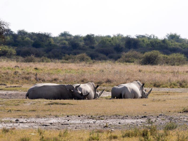 Southern White rhinoceros, Ceratotherium simum simum, at waterhole Botswana stock photography