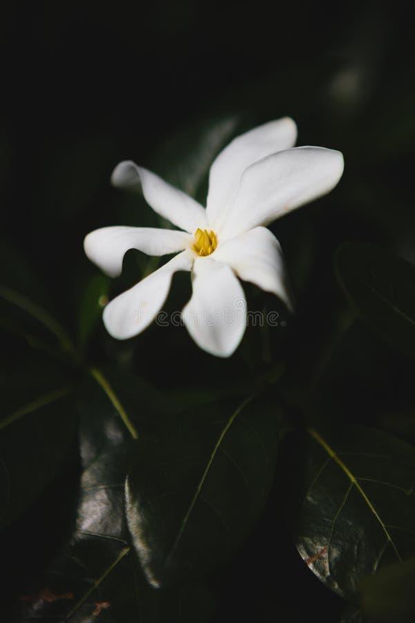 Innocent white flower royalty free stock photo