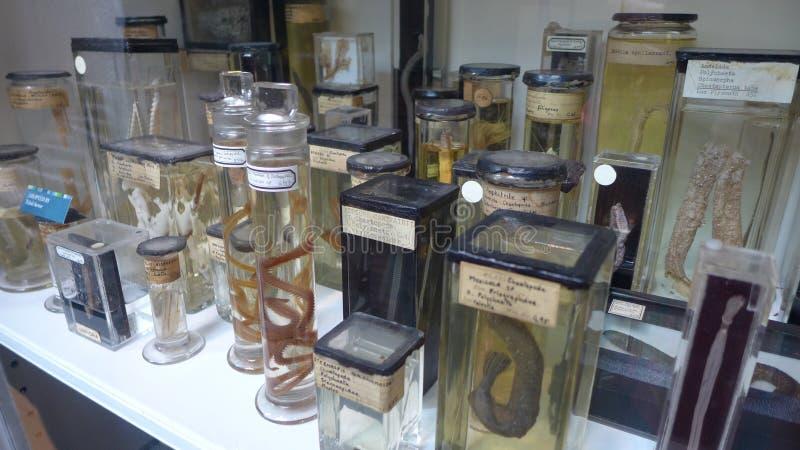 Anzeige von Schlangen in Grant Museum von Zoologie London lizenzfreies stockfoto