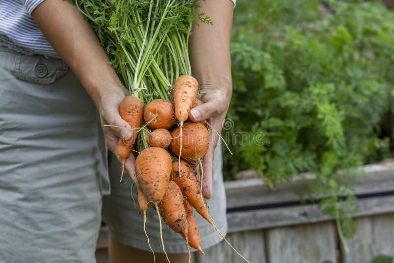 Anzeigen von frisch ausgewählten Karotten lizenzfreie stockbilder