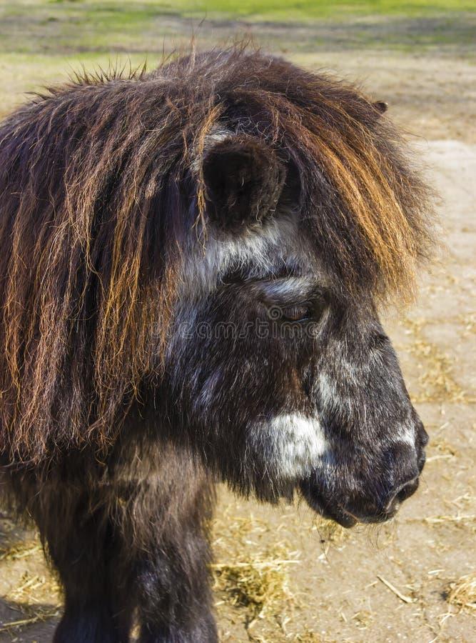 Anziano del cavallino di Shetland immagine stock libera da diritti