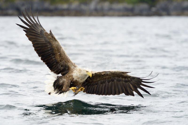 Anziehende Fische des Seeadlers stockbild
