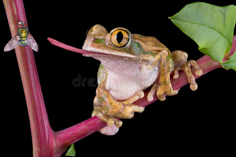 Anziehende Fliege des Frosches mit der Zunge lizenzfreies stockfoto