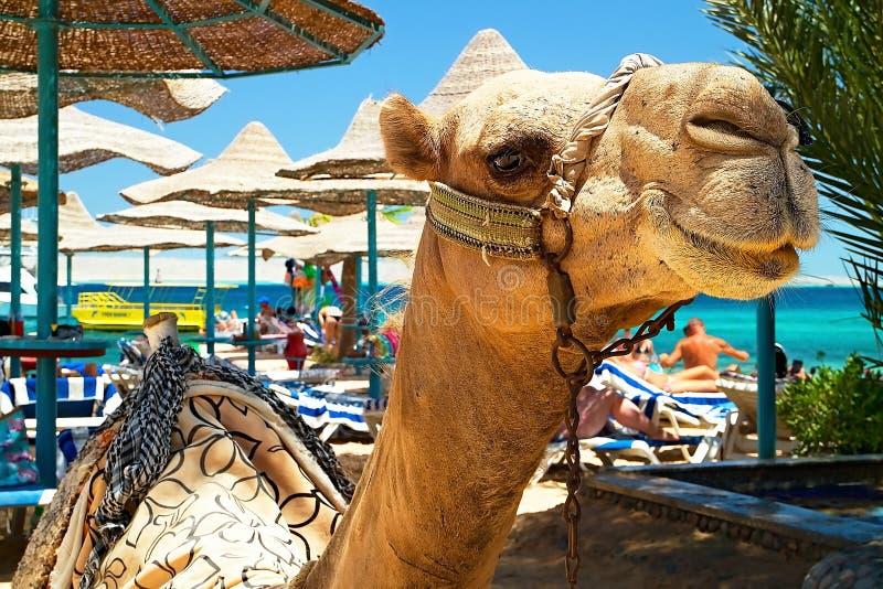 Anziehungskraft des Strandes bei Bella Vista Resorte in Hurghada - Kamel stockfoto