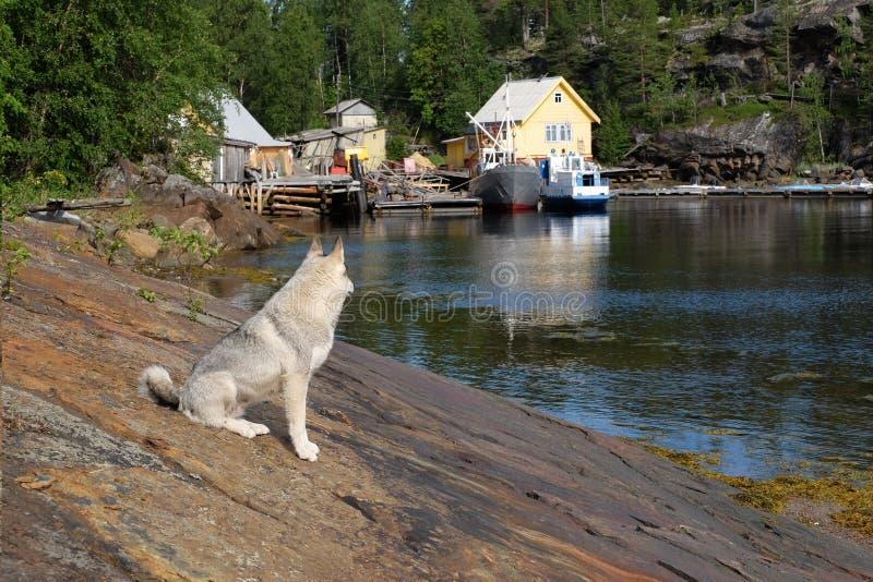 Ao norte de Rússia, costa do mar branco Siberian Husky Against Background Of Rocks de Rocky Bay Fjord And White, embarcações do m imagens de stock royalty free